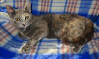"Young Female Cat - Domestic Short Hair: ""Buttercup"""