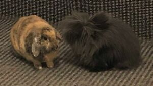 Free To A Good Home - 1 lionlop and 1 double mane lionhead
