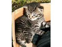 Half Bengal/Russian Blue kittens