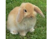 American Fuzzy Lop Rabbit babies for sale