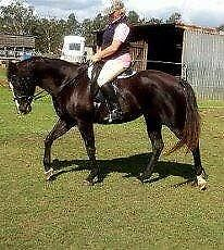 Lovely QH mare