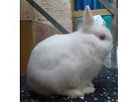 2 x Netherland Dwarf Baby rabbits