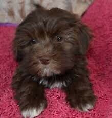 Looking for Havanese puppy
