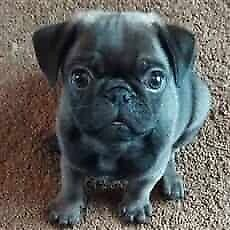 Looking for a pug or other small breed 1000$