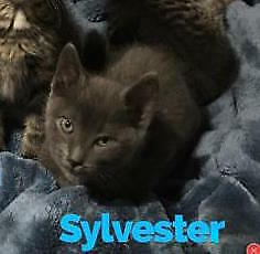 """Baby Male Cat - Russian Blue: """"Sylvester"""""""