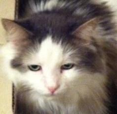 """Adult Male Cat - Domestic Medium Hair - gray and white: """"Duncan"""""""