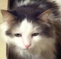 "Adult Male Cat - Domestic Medium Hair - gray and white: ""Duncan"""