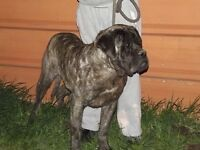 Expecting 2 litters of CKC registered English mastiff puppies