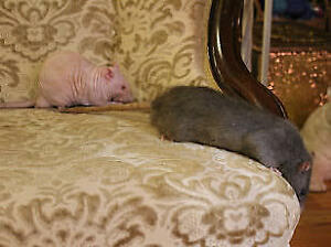 "Adult Male Small & Furry - Rat: ""Mathias & Murmur"""