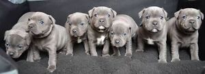 WANTED! Blue Male English Staffy Casey Area Preview