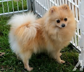 Pomerainian puppies for rehoming