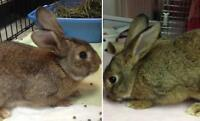 "Adult Male Rabbit - Dwarf: ""Aslan and Ayla"""