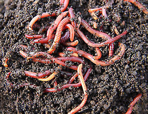 Composting Red Wiggler Worms - 1/2 Pound