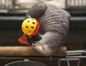 African grey approx just under two male