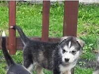 Husky malamute pup