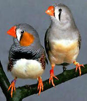 Five Zebra Finches 25 dollars for all