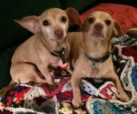 "Senior Female Dog - Chihuahua: ""Baby & King"""