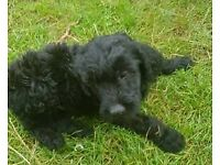 Flat Coat Retriever Golden Doodle puppies dogs