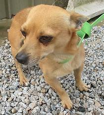 Chihuahua (Timmy) is ready for adoption York York Area Preview