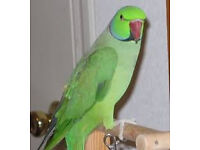 green Indian ringneck parrot conure