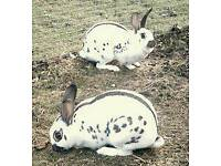 Mini lop rabbit and English rabbit ready for rehoming