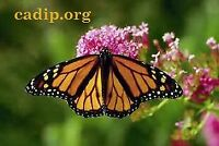 Conservation of the Monarch Butterfly's habitat in Mexico