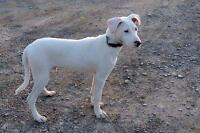 """Young Male Dog - Staffordshire Bull Terrier: """"Doug"""""""