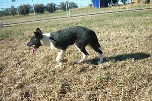 Working Dogs - Kelpie Collie Pups Available now Pootilla Moorabool Area Preview