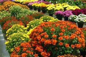 Mums starting at $1.99