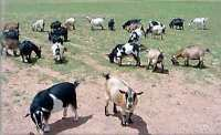 Live Goats , sheep ,live lamb, & cattle,cows,camels for sale