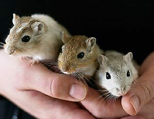 Gerbils for sale