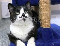 "Adult Female Cat - Domestic Short Hair: ""Georgina"""