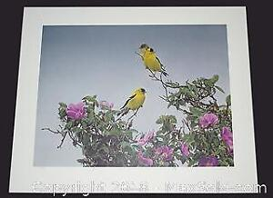 """Terry Isaac """"Gold on the Rose - American Goldfinch"""" limited edition print, s/n"""