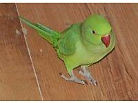 Indian Ringneck , Ring neck , Parrot Bird