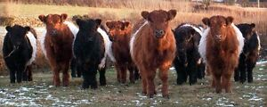 Wanted: Belted Galloway heifer