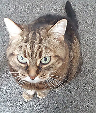 "Senior Female Cat - Tabby-Domestic Short Hair: ""Cassie - Senior"""