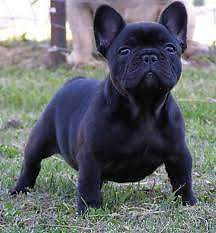 WANTED; French Bulldog male Wanted High Wycombe Kalamunda Area Preview