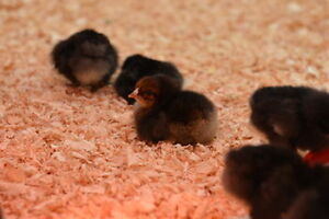 Red Sussex and Red Rock Cross pullet(hen)CHICKS.