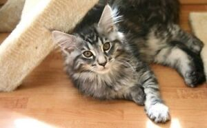 Wanting kitten with tipped ears/Maine coon