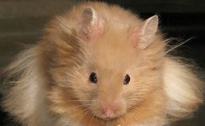 Long Haired Syrian Hamster Needs a Home!