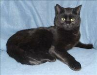 "Young Male Cat - Domestic Short Hair: ""Scallion"""