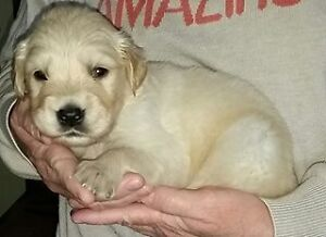 Golden Retriever Puppies~ Vet Approved ~ Ready To View