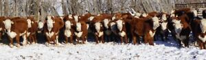Premier Hereford Sale