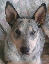 PRICE REDUCED   FOSTER DOG Elimbah Caboolture Area Preview