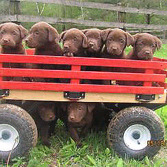 Purebred labrador puppies Chocolate and Fox red