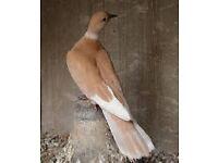 barbery dove