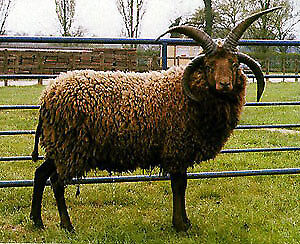 Shetland X Jacob Ram. 4 horns. 2 years old. Very nice natured