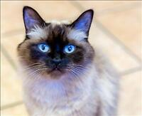 "Adult Female Cat - Domestic Medium Hair: ""Angel"""