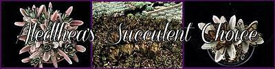 Aledlheas_Succulent_Choice