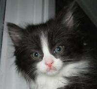 """Young Female Cat - Domestic Medium Hair: """"Jacey (+ Macey)"""""""
